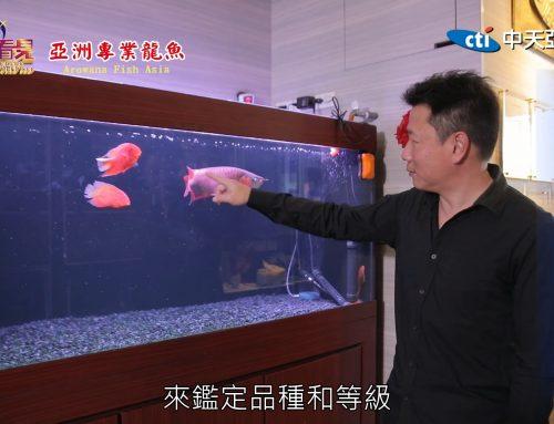 【讓世界都看見】龍魚養殖與評鑑專家-李易城創辦亞洲專業龍魚,成功將國際評標準引進台灣! 中天版